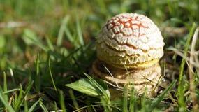 Élevage rouge de champignon Photo stock