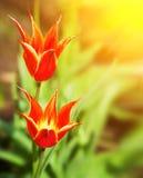 Élevage rouge de deux bel tulipes Photographie stock libre de droits