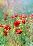 Élevage rouge de pavots Photographie stock libre de droits