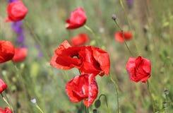 Élevage rouge de pavots Photos libres de droits