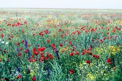 Élevage rouge de pavots Photo libre de droits