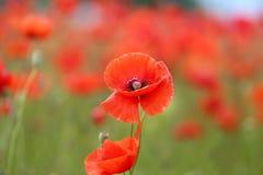 Élevage rouge de pavots Photographie stock