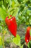 Élevage rouge de poivrons doux Images libres de droits