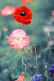 Élevage rouge et rose du pavot deux lumineux dans un pré Image stock