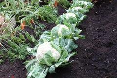 Élevage sain de nourriture de carottes de jardin de chou-fleur Photographie stock