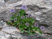 Élevage sauvage dans les Alpes d'Apuan sur les affleurements rocheux Images libres de droits