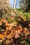 Élevage sauvage de champignons de couche Photographie stock libre de droits