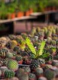 Élevage sec d'épines de cactus Photo libre de droits