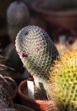 Élevage sec d'épines de cactus Images stock