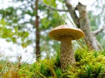 Élevage serré de boletus de champignon jeune dans la forêt Photographie stock libre de droits