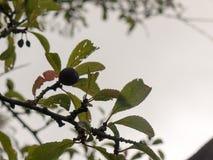 Élevage sloeberry simple sur un arbre dehors avec le CCB obscurci de ciel photos stock