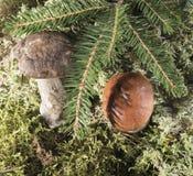 Élevage sous le champignon de branche de sapin Fond naturel Photographie stock