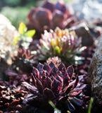 Élevage succulent parmi des roches Photo libre de droits