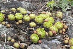 Élevage succulent sauvage de globifera de Jovibarba sur la roche Photos libres de droits
