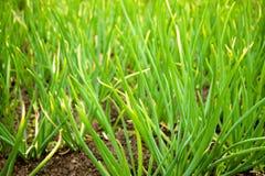 Élevage sur les oignons de verts de jardin Photos libres de droits