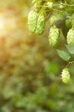 Élevage sur une branche de houblon en cônes Photo libre de droits
