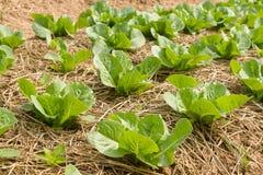 Élevage végétal dans les rangées dans le potager Photos libres de droits