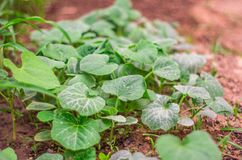 Élevage végétal dans un jardin Photos stock