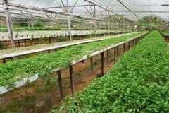 Élevage végétal vert de cresson Photo libre de droits