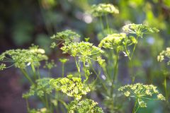 Élevage vert d'aneth Photographie stock libre de droits