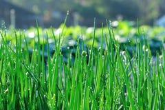 Élevage vert d'oignon de ressort Photographie stock