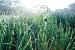 Élevage vert d'oignon de ressort Photos stock
