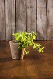 Élevage vert d'origan Image stock