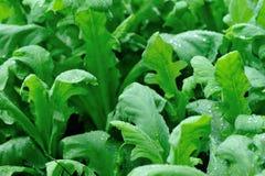 Élevage vert d'usines de laitue indienne Image stock