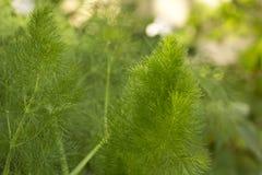 Élevage vert de centrale de fenouil Photos stock