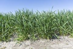 Élevage vert de champ de blé Photos libres de droits