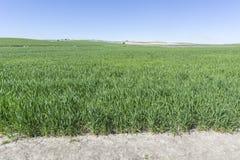 Élevage vert de champ de blé Photographie stock