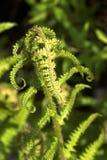 Élevage vert de feuille de fougère Photo libre de droits