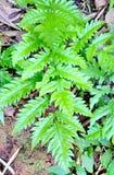 Élevage vert de fougères Photo stock
