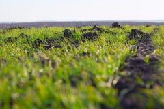 Élevage vert de grains Photo libre de droits