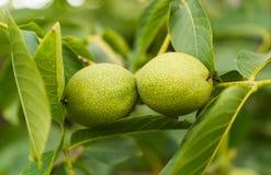 Élevage vert de noix Photos stock