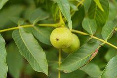 Élevage vert de noix Photo stock