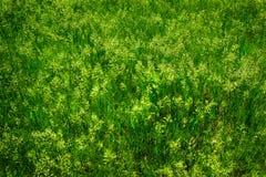Élevage vert de peu d'herbe sauvage Images stock