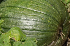 Élevage vert de potiron Photos stock