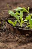 Élevage vert de pousse. Images libres de droits