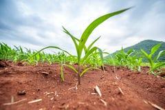 Élevage vert de pousse Image libre de droits
