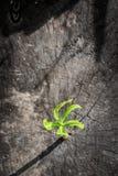 Élevage vert de pousse Images libres de droits
