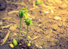 Élevage vert de pousse (effet filtré de vintage traité par image Photographie stock libre de droits