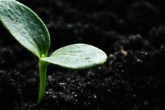 Élevage vert de pousses Images libres de droits