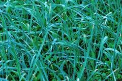 Élevage vert de pousses d'ail Photos libres de droits