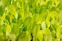 Élevage vert de pousses de laitue petit Photos libres de droits