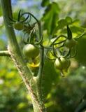 Élevage vert de tomates Photographie stock libre de droits