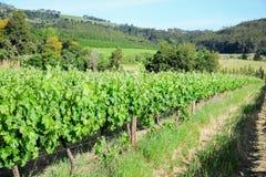 Élevage vert de vignes Photographie stock