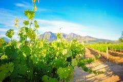 Élevage vert de vignes Photographie stock libre de droits