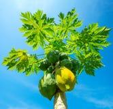 Élevage vert et jaune de papayes Photographie stock