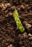 Élevage vert simple de lance d'asperge Images libres de droits